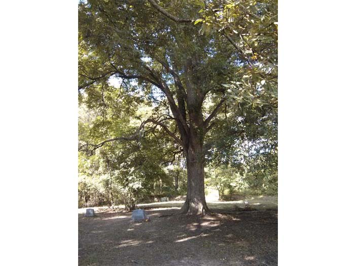 The pecan tree under which Robert Johnson is buried