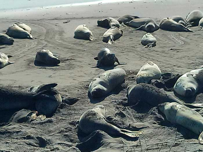 Seals on the beach at Piedras Blancas elephant seal rookery