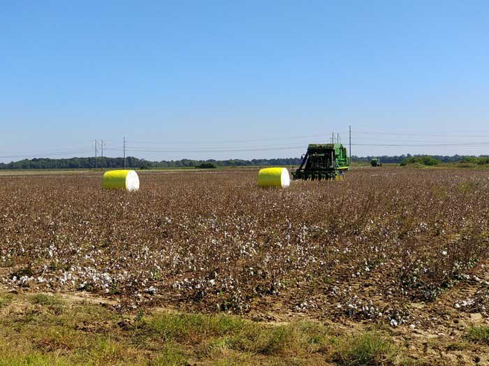 Cotton fields on Old Highway 61, Dundee, MS