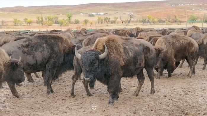 Buffalo in the Corrals #1