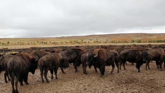 Buffalo in the Corrals #2
