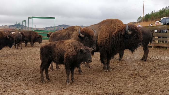 Buffalo in the Corrals #3