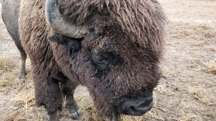 Buffalo in the Corrals #4